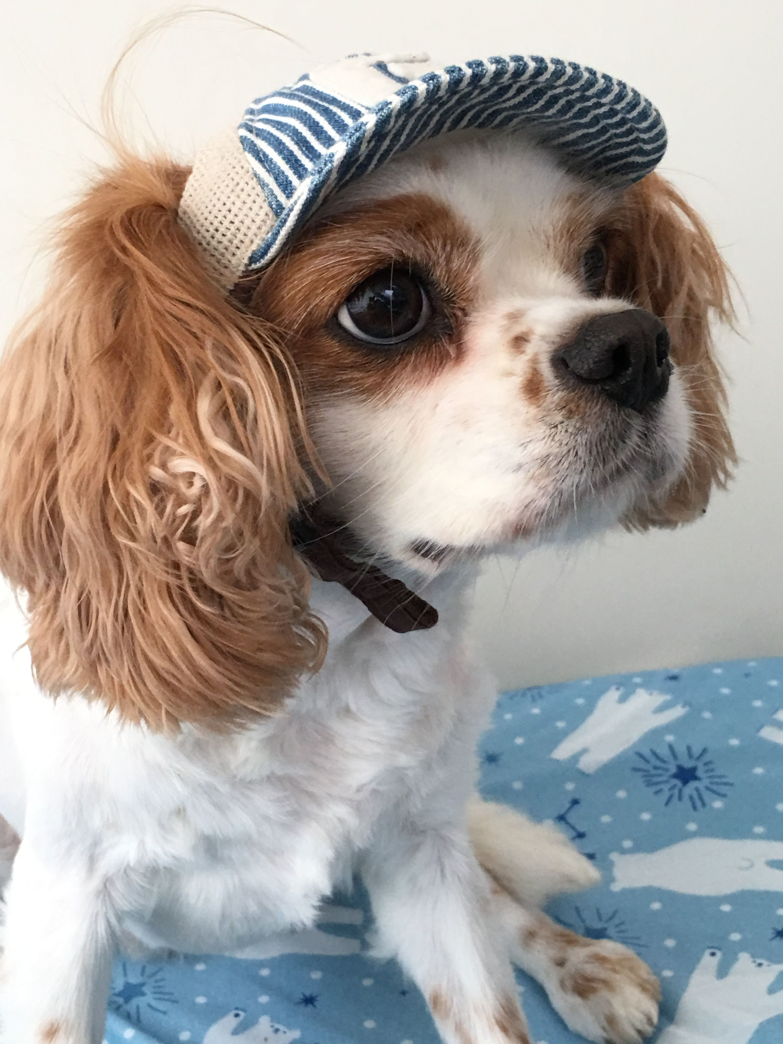 Snoopy Cavalier King Charles Spaniel King Spaniel Cavalier King Charles