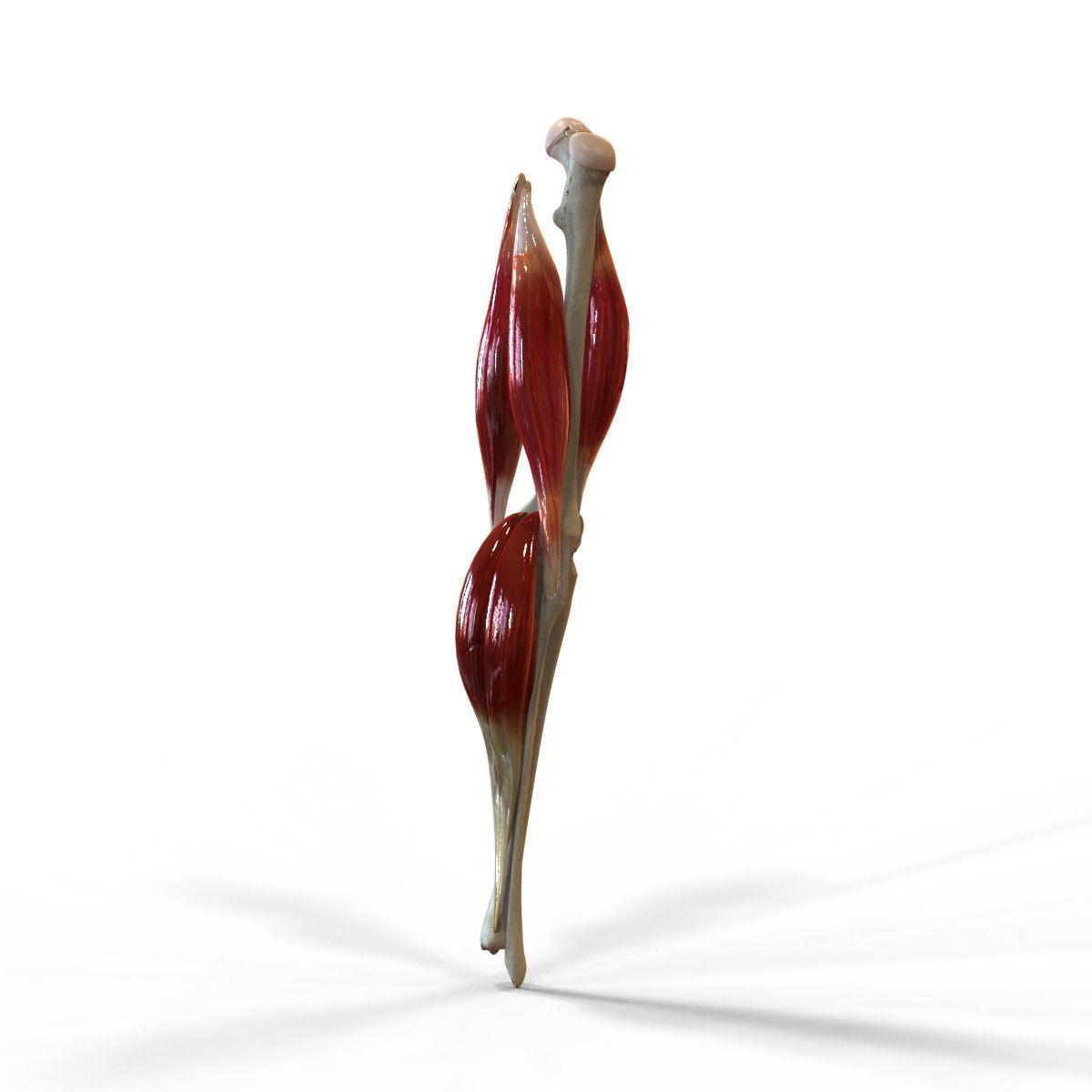Human Knee Joint Anatomy Animation 3d Model 3d Anatomy Pinterest