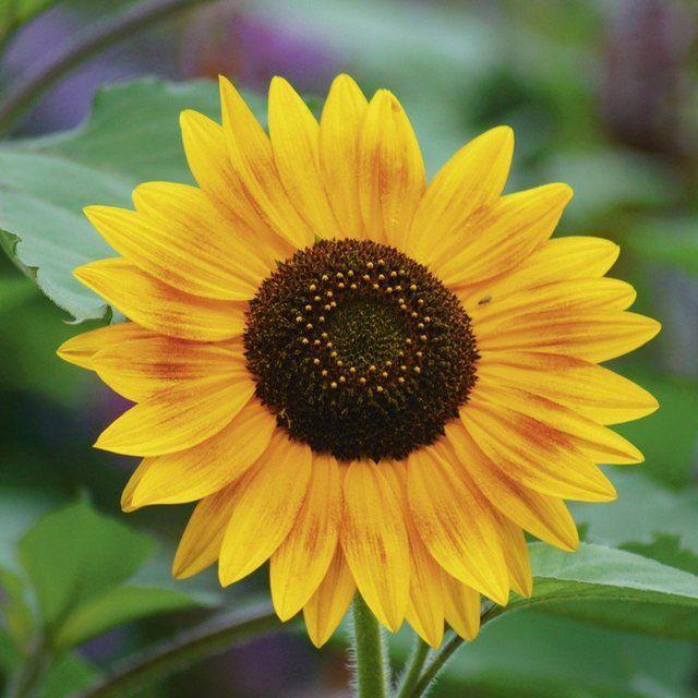 Photo of Poster oder Leinwandbild »Botanik Blumen Sonnenblume Wiese Sommer Foto«