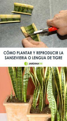 Cómo plantar y reproducir sansevieria o lengua de tigre