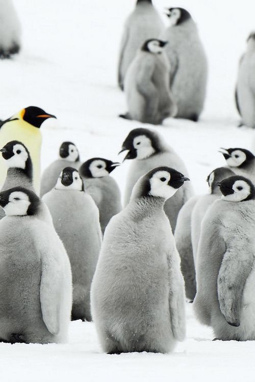 Penguin puffs.