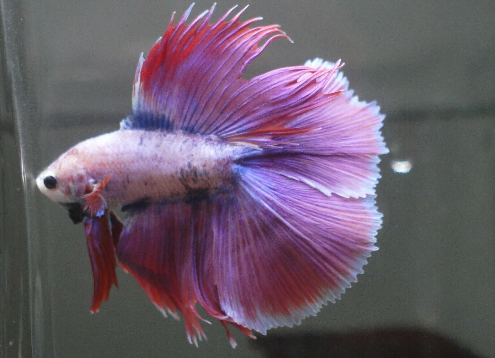 Live Betta Tropical Fish Double Tail Halfmoon Betta C70 Betta Fish Ideas Of Betta Fish Bettafish Live Betta Tropical Fis Halfmoon Betta Betta Fish Betta