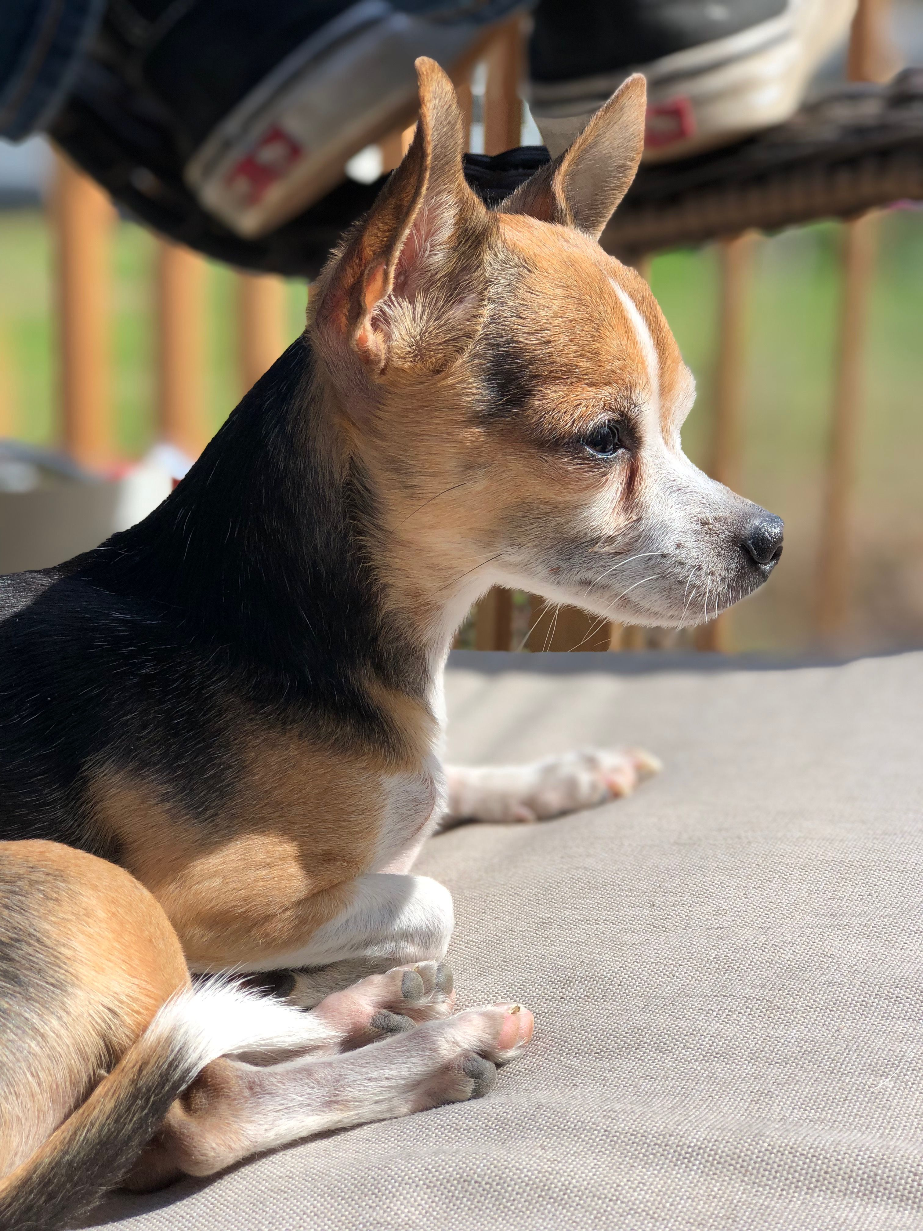 Pin By Ann Byars On Chihuahua Cute Dogs Chihuahua Dogs
