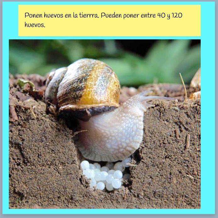 Reme Bayarri. Proyecto Infantil Caracoles. Reproducción del caracol ...