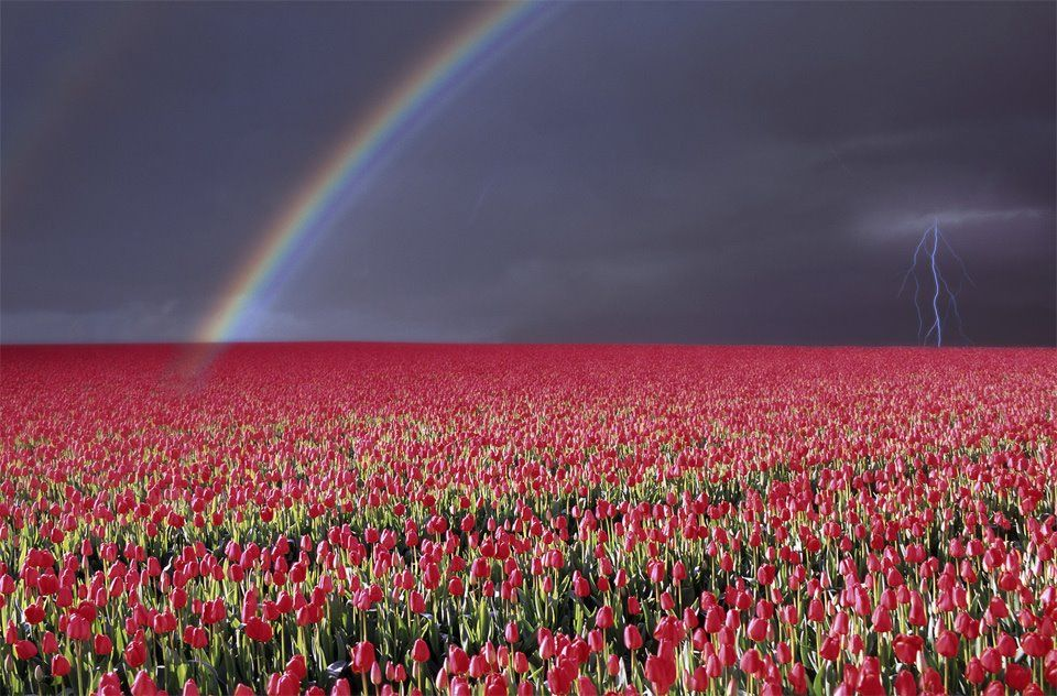 Rainbow & Lightning over Tulip field Wallpapers & Other