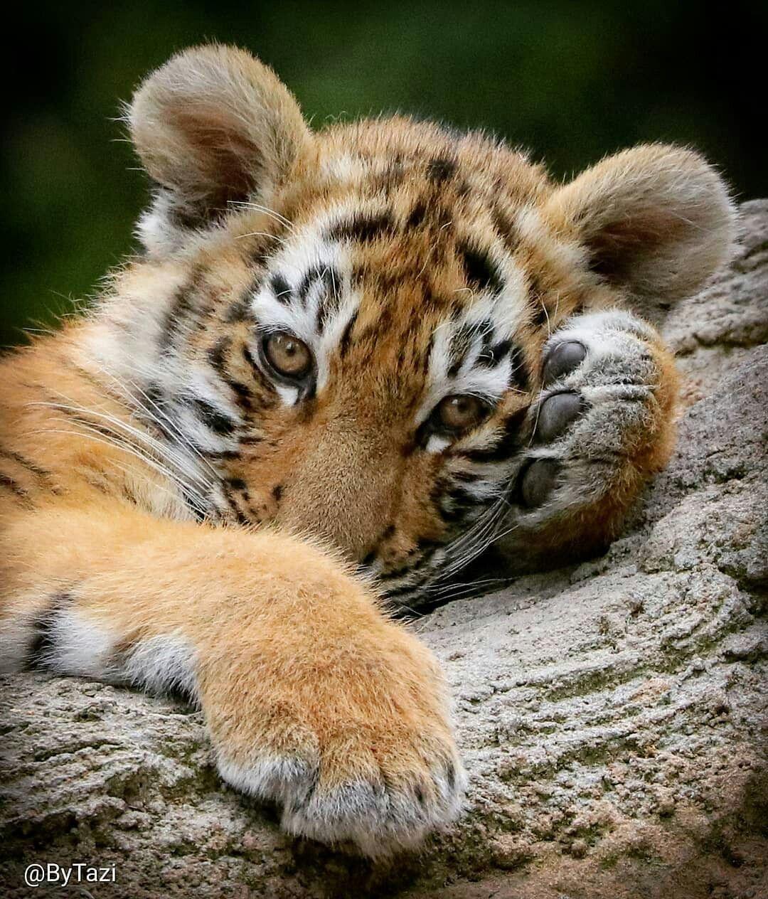 взрослых красивые картинки маленьких тигрят предлагаем вашему вниманию