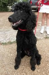 Adopt Suzi On Poodle Rescue Dogs Dogs