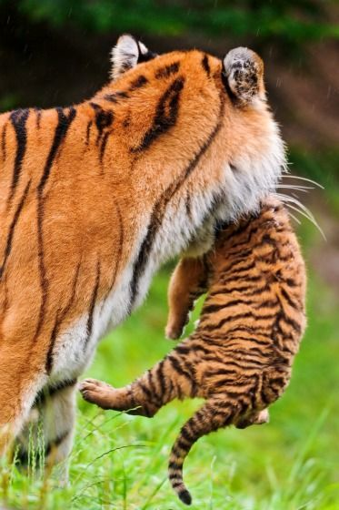 A mother tiger carrying her cub in her mouth.
