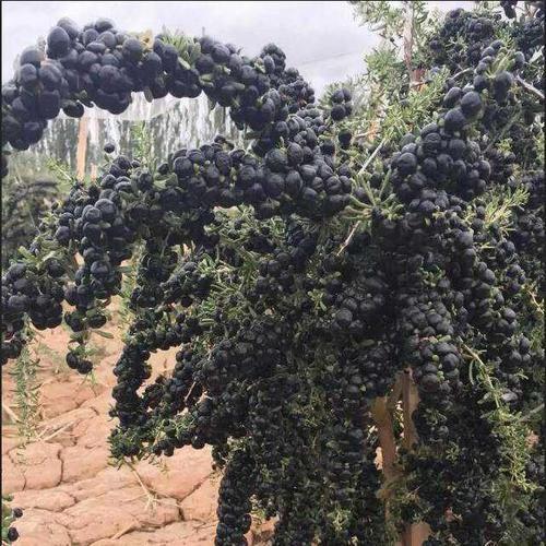 Goji Berry Black Pearls Seeds Lycium Ruthenicum Wolf Berry