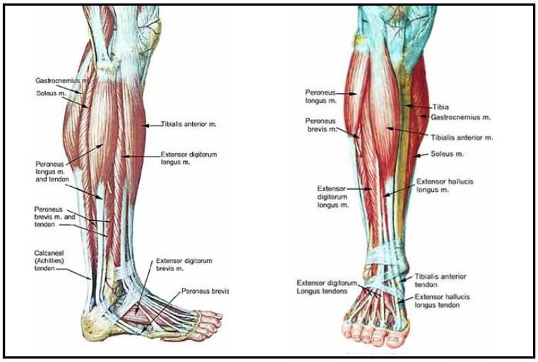 Lower Legs Muscles Major Muscles Pinterest Lower Leg Muscles