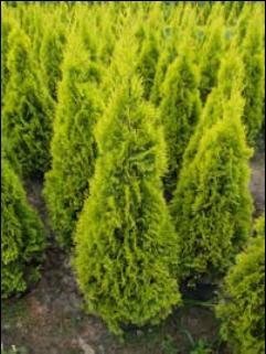 thuja occidentalis 39 golden smaragd 39 39 janed gold 39 trees shrubs pinterest thuja. Black Bedroom Furniture Sets. Home Design Ideas
