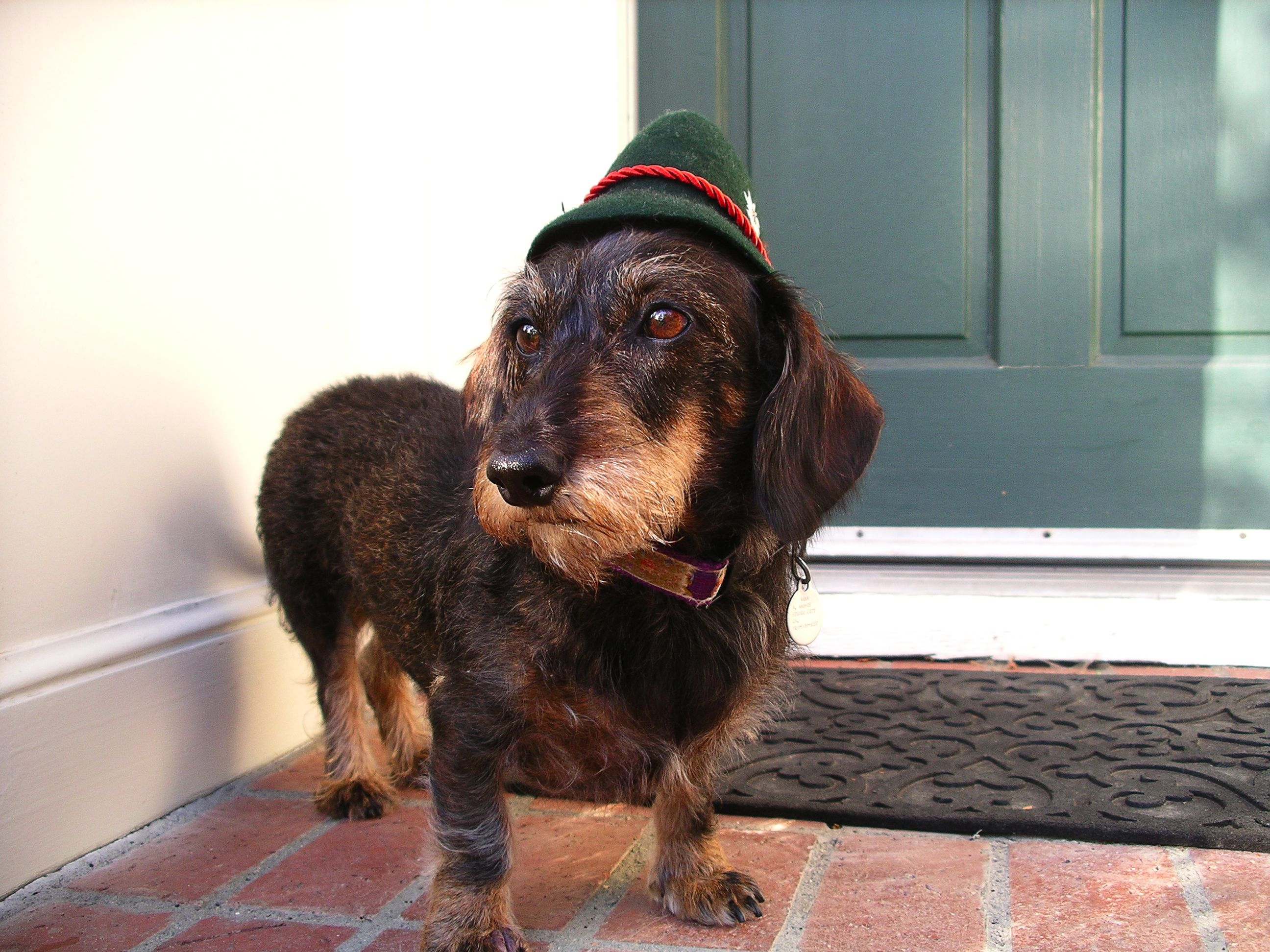 Wire Haired Dachshund Anka V Bayern Baby Dachshund Wire Haired Dachshund Wiener Dog