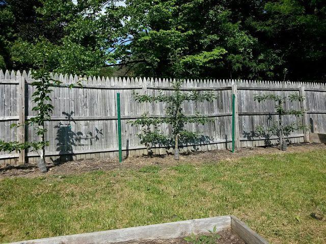 Espaliered Fruit Trees (Pear and Apple) Year 2 via Italian Gardening