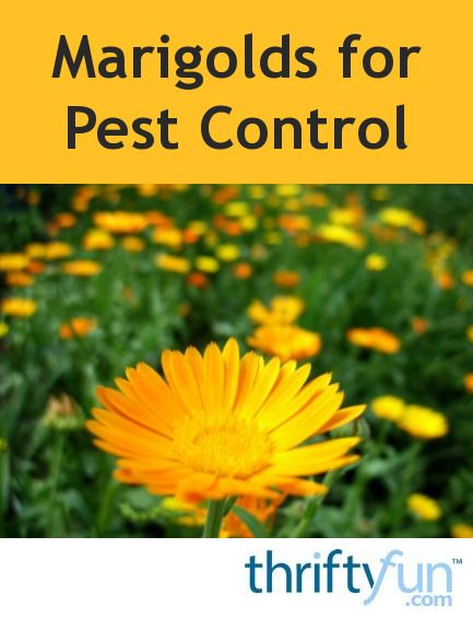 This Is A Guide About Marigolds For Pest Control Are Often Used As Companion Plants In Gardens Because Of Their Retion Deterring Certain