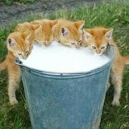 Kittens with milk in a bucket. *insert disgusted Karkat