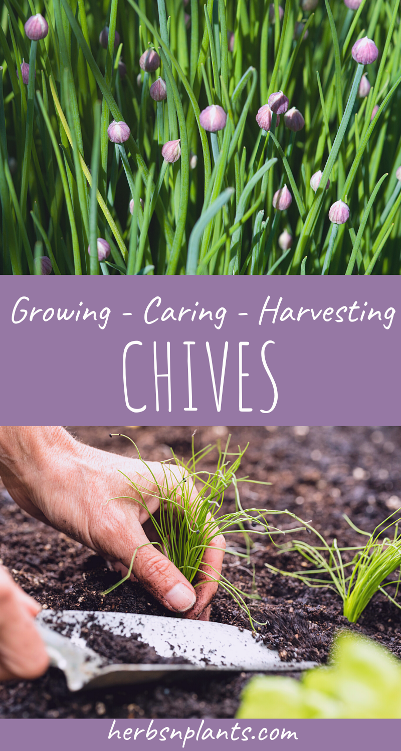 How To Grow Chives Planting And Caring Growing Chives Plants Growing