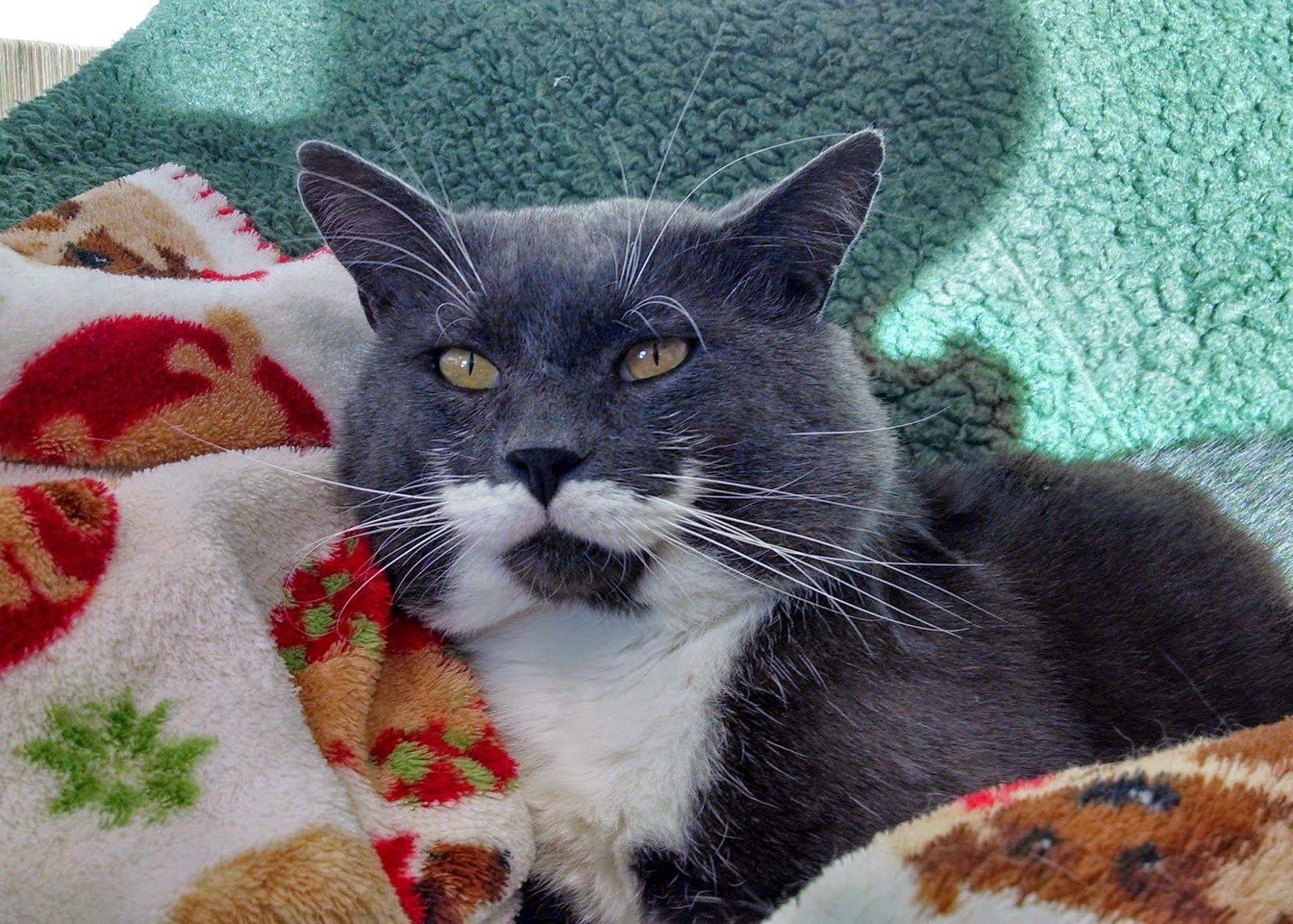 Tuxie Tuesday Opt To Adopt Animal Shelter Volunteer Pet Parade Cat Adoption