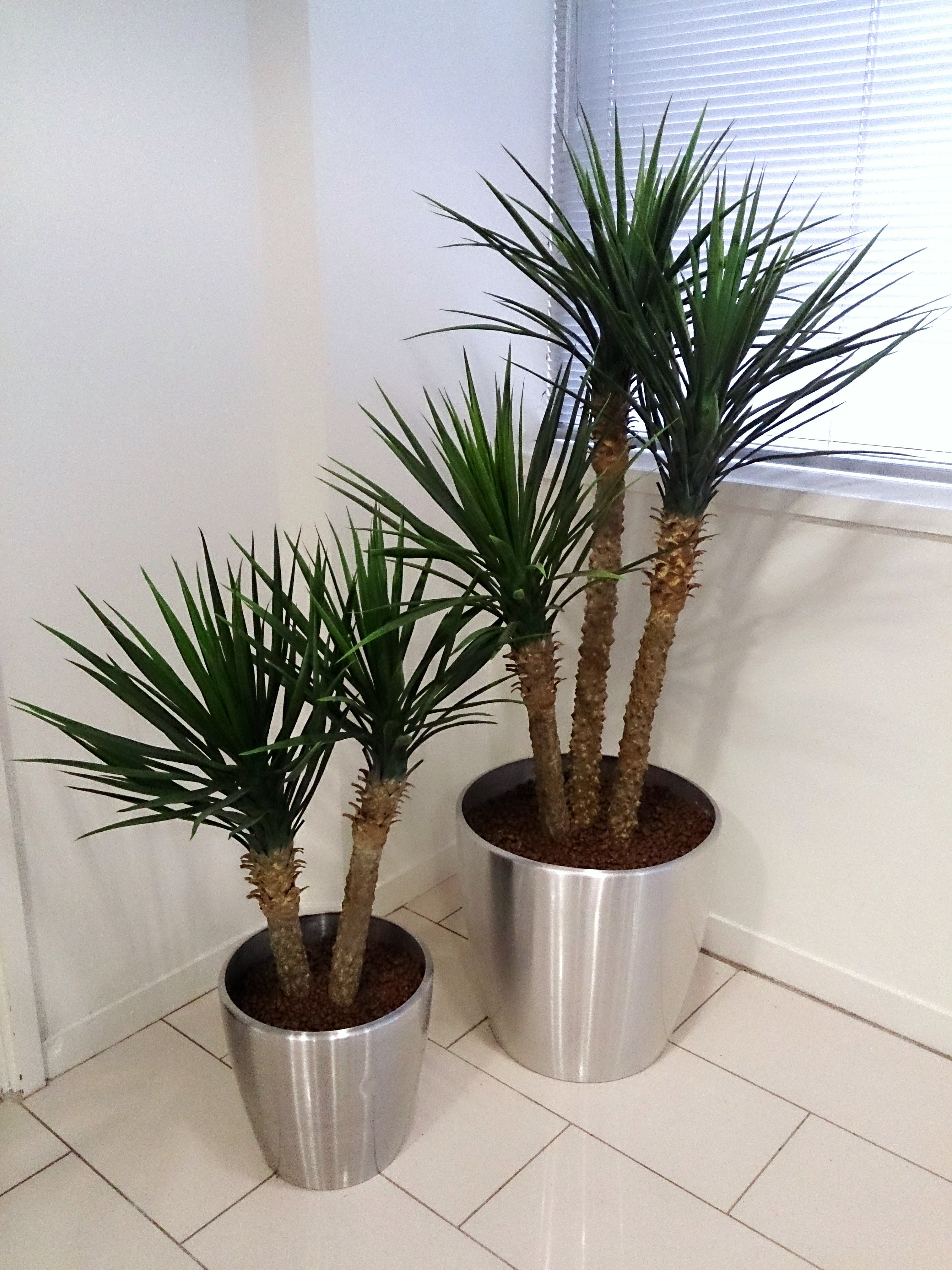 Artificial Yucca Rostrata Plants In Aluminium Containers, These Replaced Live