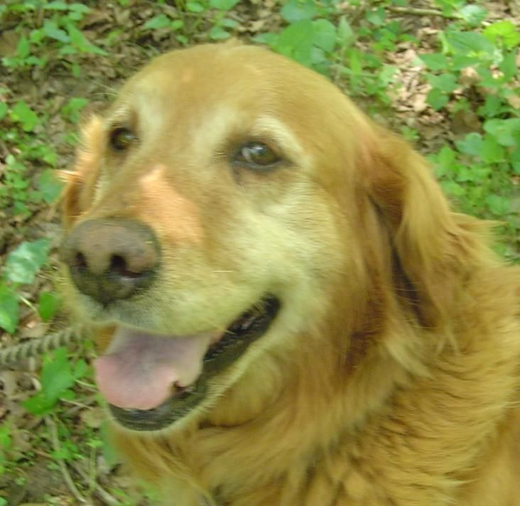 Adopt Bridget On Golden Retriever Rescue Dogs Golden Retriever