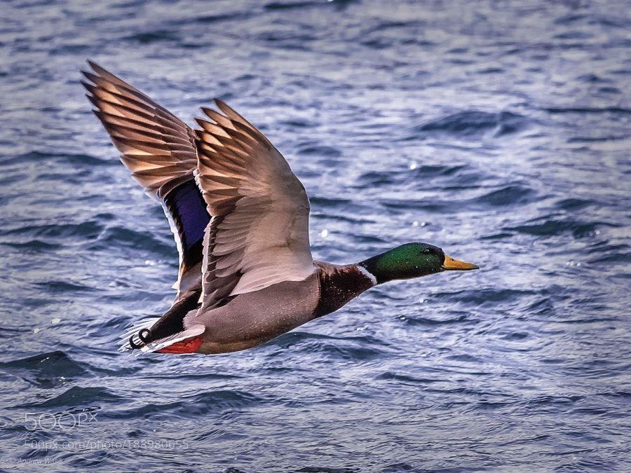 flying duck by wasikandrew via http://ift.tt/2h5CKQN
