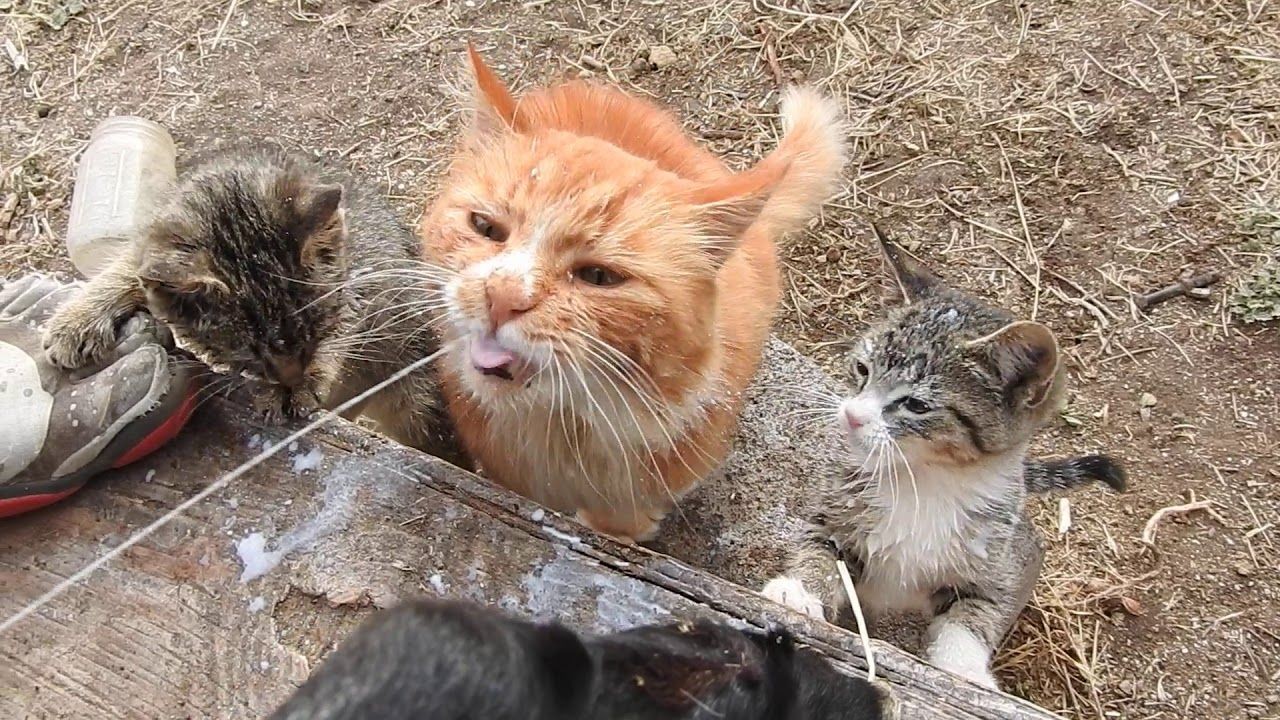 Cute Orange Cat And Kittens Getting Breakfast On The Farm Cats And Kittens Cute Kitten Gif Cute Cat Gif