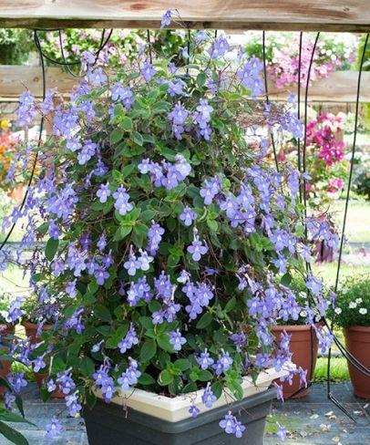 Torivka Butterfly House Plants