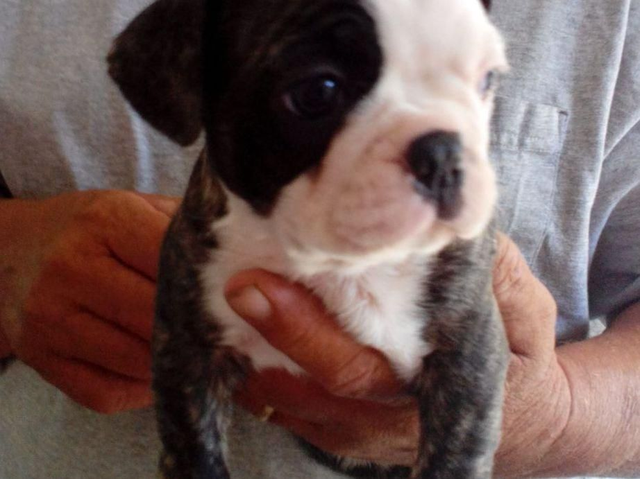 Beverly Prevatt Is From Virginia And Breeds Boston Terriers Akc Proudly Supports Dedicated And Responsible Breeders We Encourage A Puppy Owner Dog Breeder Akc
