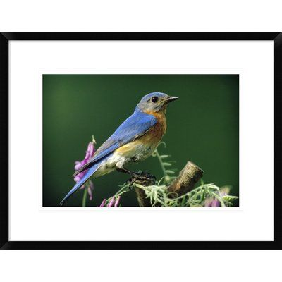 Global Gallery Eastern Bluebird Portrait, Ontario, Canada by Tim Fitzharris Framed Photographic Print Size: