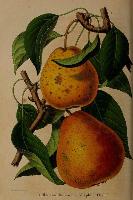 Pears Madame Durieux And Seraphine Ovyn Pyrus Communis La Belgique Horticole Journal Des Jardins Et Des Vergers Vol 7 T 14 Pear Fruit Botanical Prints