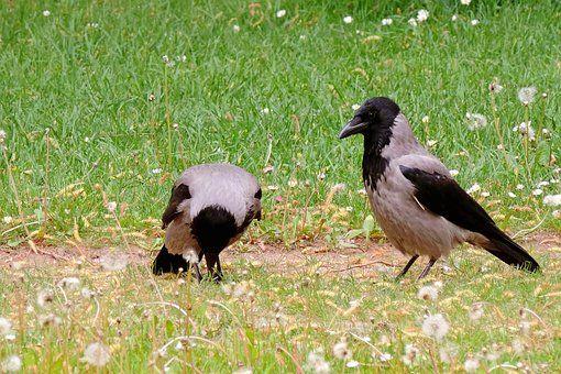 Sumu Variksia, Nokivaris, Crow