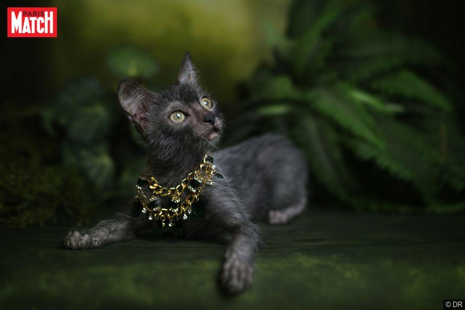 Croisé entre un sphinx et un chat à poil court, le lykoi a une apparence étrange. A moitié poilu, ce chat croisé devait ressembler à un loup... et c'est réussi. Avec son poil noir et gris disparate (qui peut complètement tomber avant de repousser), ses yeux clairs et son corps agile, il ressemble à un chat-garou. Cette espèce a été créée au début des années 2010 dans un élevage du Tennessee, aux Etats-Unis. Elle a été reconnue comme étant Espèce nouvelle parThe International Cat…