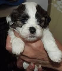 Image Result For Shih Tzu Cross Lhasa Apso Puppies For Sale Maine