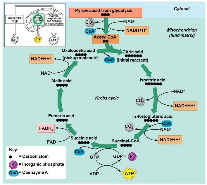 Krebs Cycle Krebs Cycle Scientifique Info