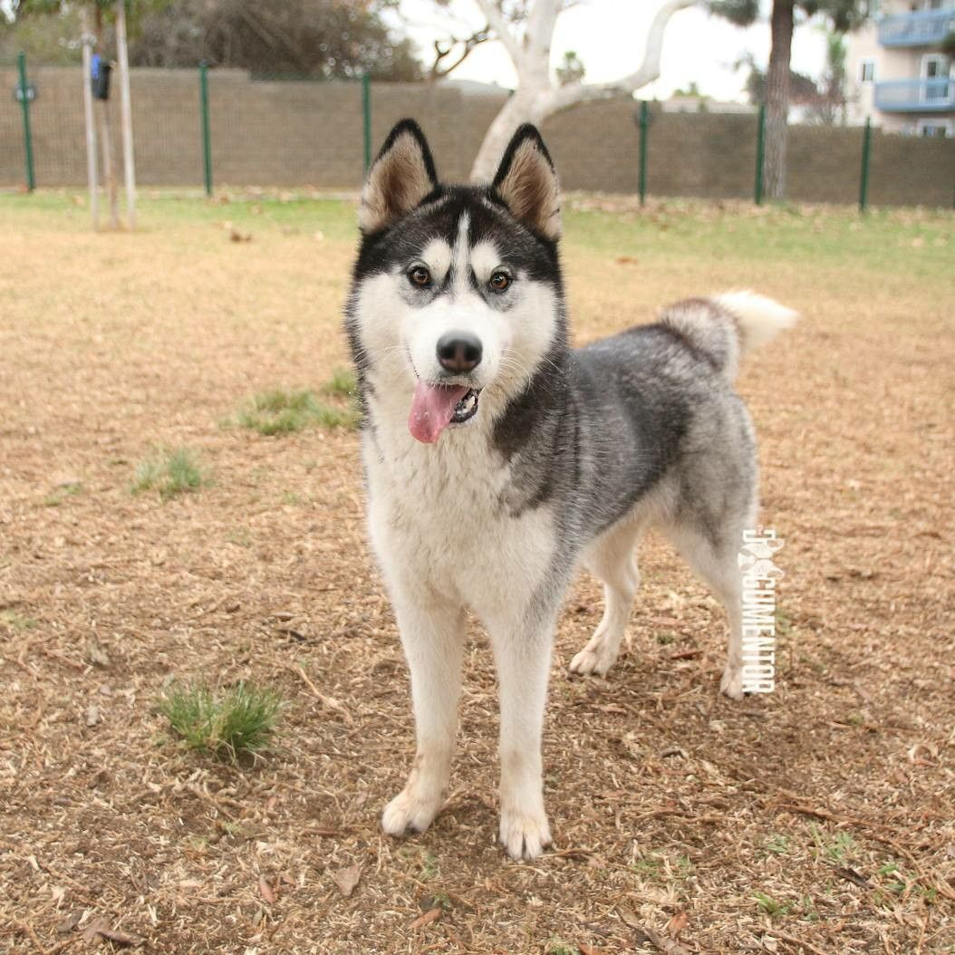 Pin By The Dogumentor On Dogs Of San Diego Husky Dogs Animals
