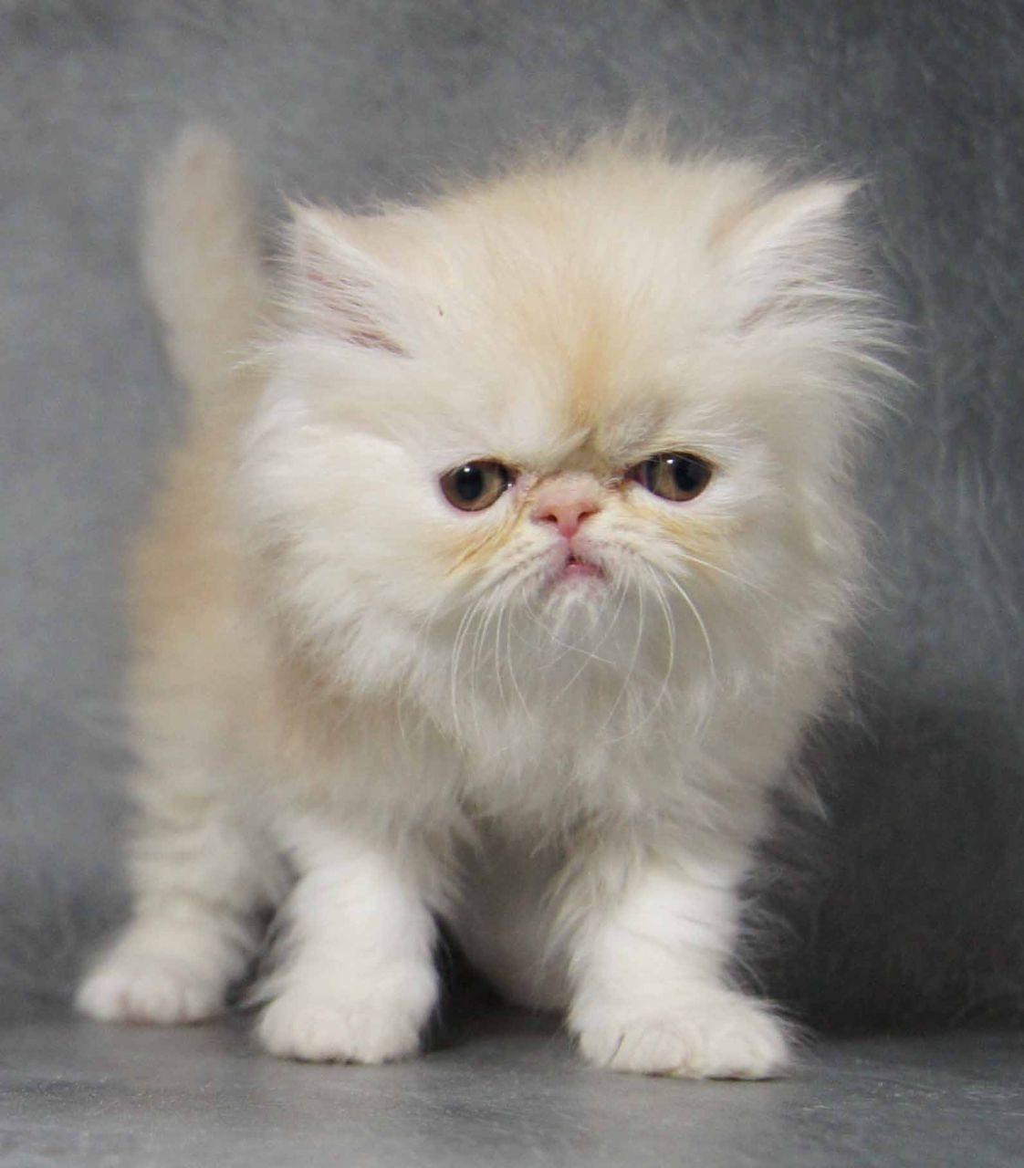 Teacup Persian Cat Persian kittens for sale, Teacup