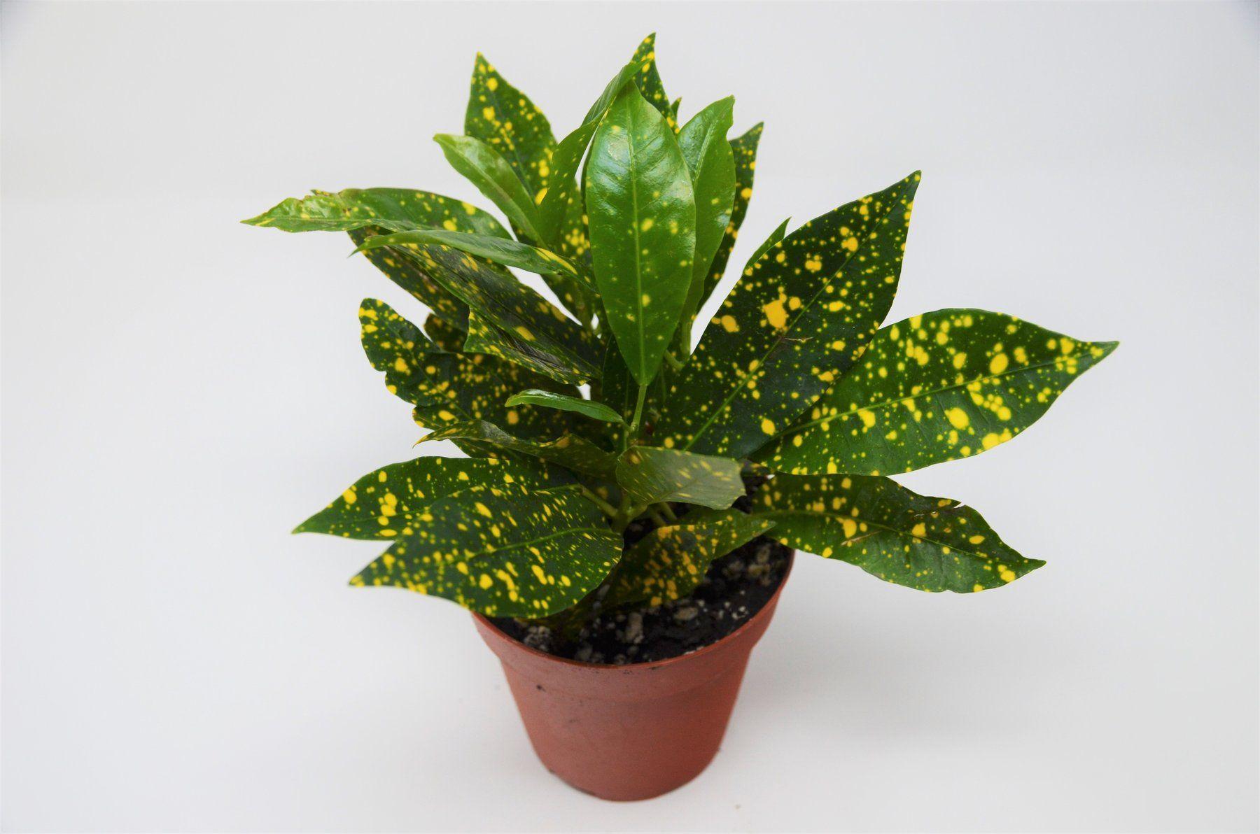 Croton Gold Dust 4 Pot Plants Live Plants Indoor Plant Pots