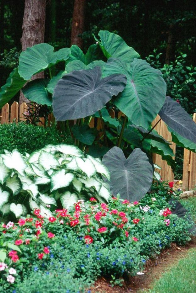 With huge lush foliage Black Magic elephant ears make an everyday garden look like the West Indies. #foliageplants #foliage #plants #elephant #ears #elephantearsandtropicals With huge lush foliage Black Magic elephant ears make an everyday garden look like the West Indies. #foliageplants #foliage #plants #elephant #ears #elephantearsandtropicals With huge lush foliage Black Magic elephant ears make an everyday garden look like the West Indies. #foliageplants #foliage #plants #elephant #ears #ele #elephantearsandtropicals