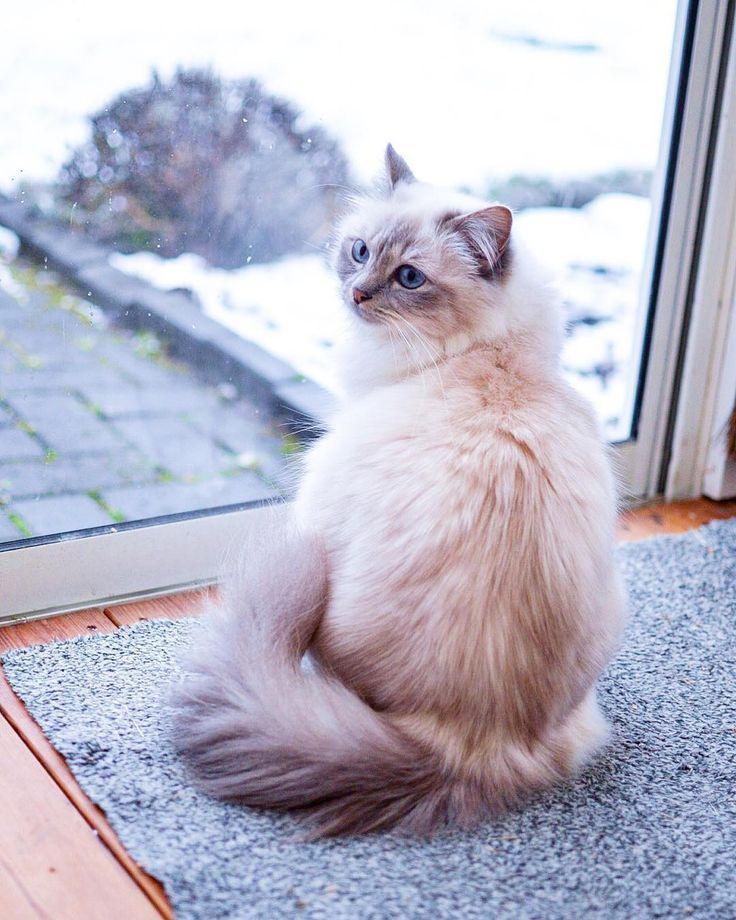Queenie #vanilj #birma #birman #breeder #catsofinstagram, #birma #birman #breeder #catsofinstagram #Queenie #vanilj #catbreeds