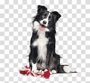 Border Collie Dog Breed Rough Collie Companion Dog Dog Food Activa Transparent Background Png Clipart Dog Breeds Clip Art Border Collie Dog