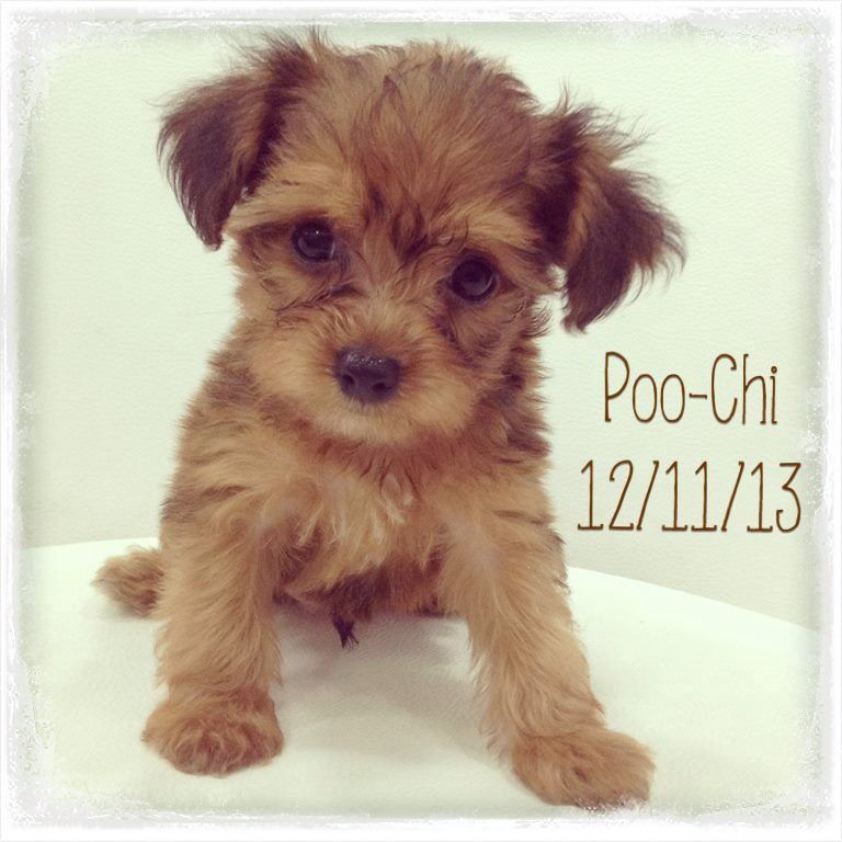 Poodle Chihuahua Lil Cutie Poodle Mix Puppies