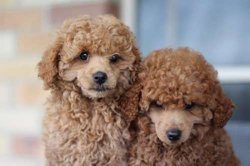We Have 2 Gorgeous Pure Bred Toy Poodle Puppies For Sale They