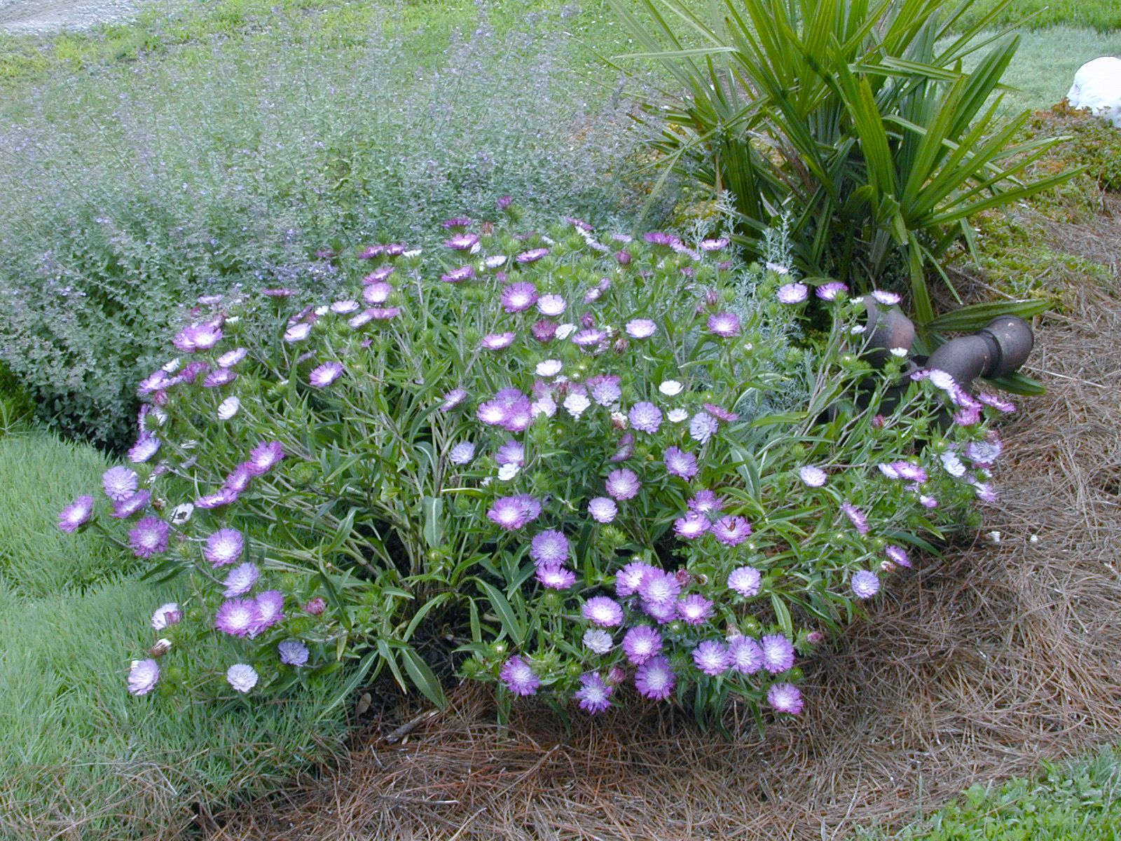 Stokesia Laevis Stokes Aster Color Wheel Blooms May To Frost
