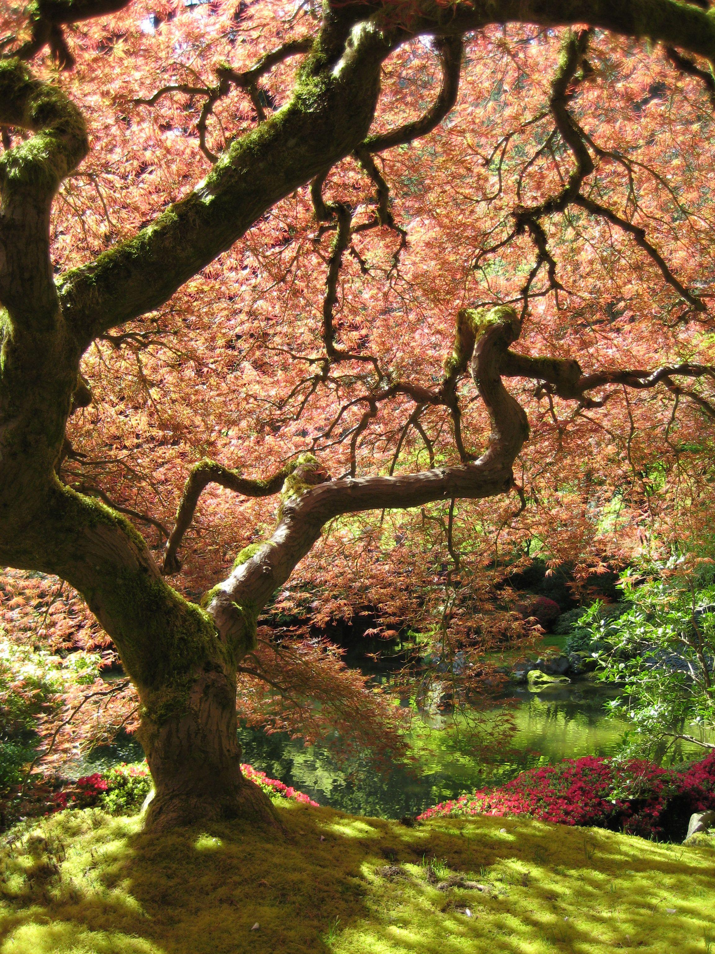 A Japanese maple in the Portland Japanese Garden. | Japanese gardens ...