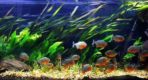 Uk Based Aquarist Jason Stanford Makes Us Rethink What A Piranha