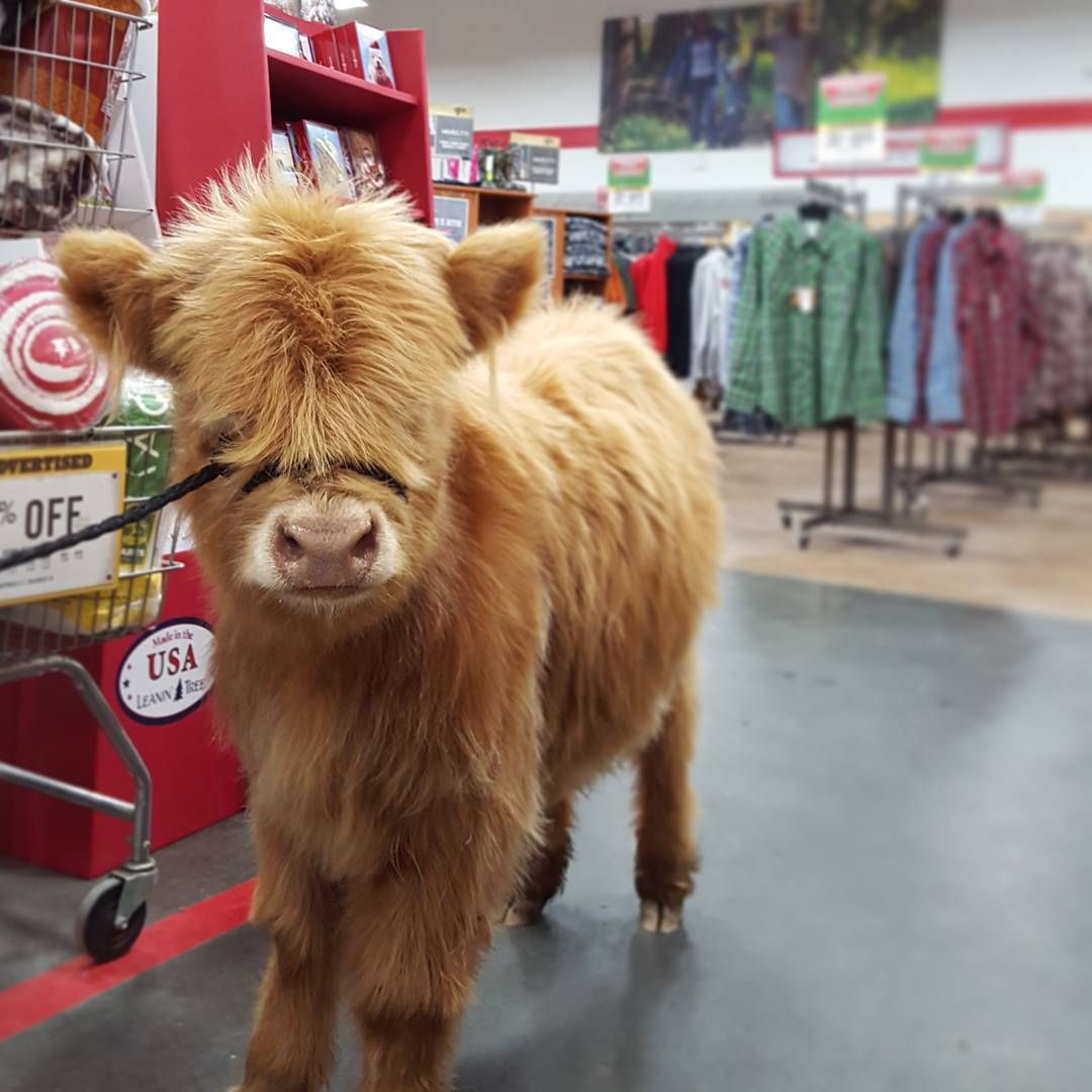 Cutest Scottish Highland Cow From Happy Hens Highlands In A Tractor Supply Store All Animals Are Welcome Tractor Supplies Baby Animals Animals