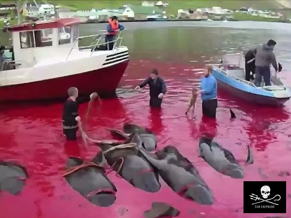 Residents of the Faroe Islands have slaughtered about 250 pilot whales in the last 24 hours, according to reports from Sea Shepherd and global media.
