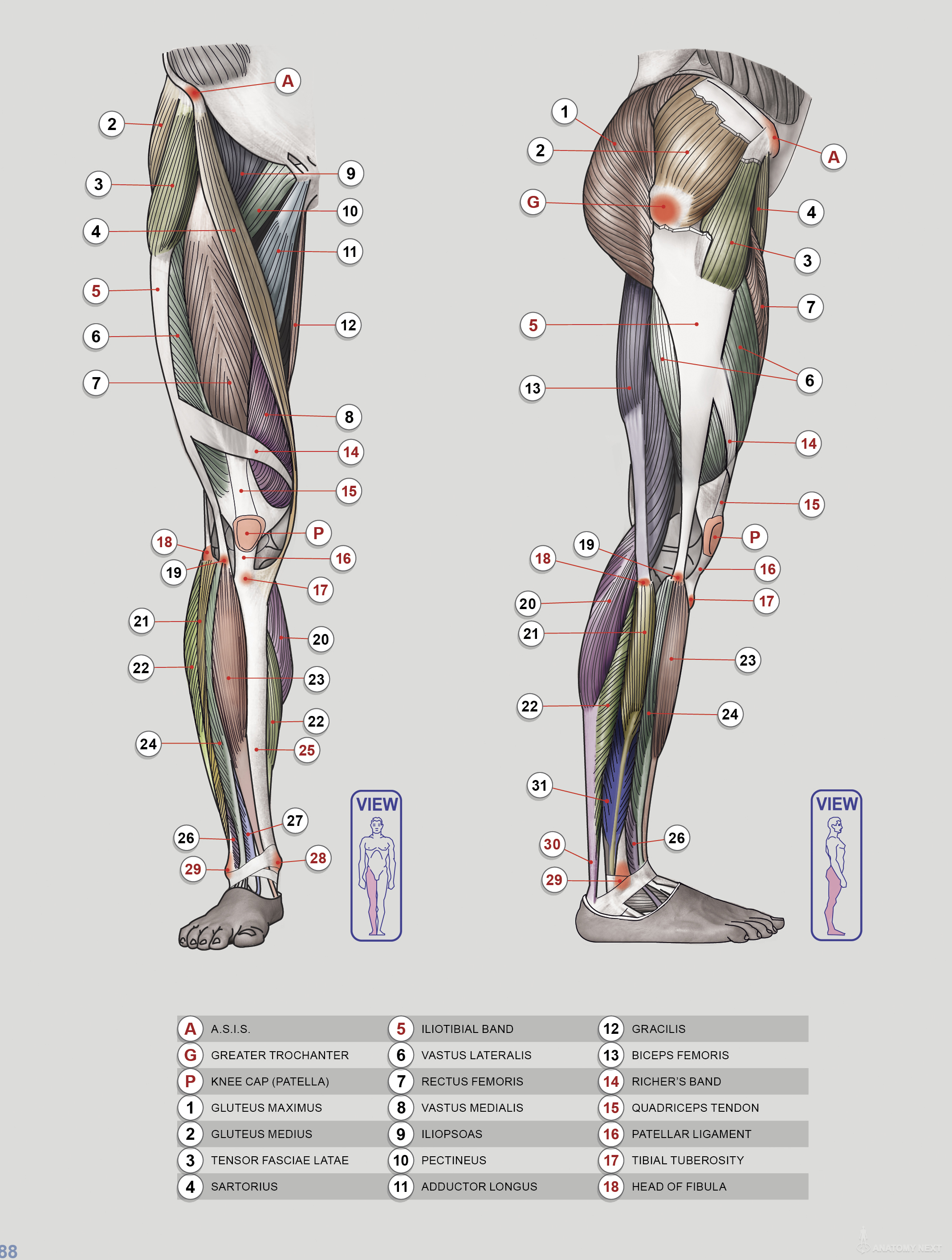 Anatomy Next - Anatomy of Lower limb: Anatomy & features | Anatomy ...