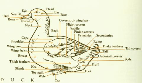 Duck Wing Diagram 2000 Honda Civic Cooling System Of Basic Outer Anatomy A And Information On Raising Ducks