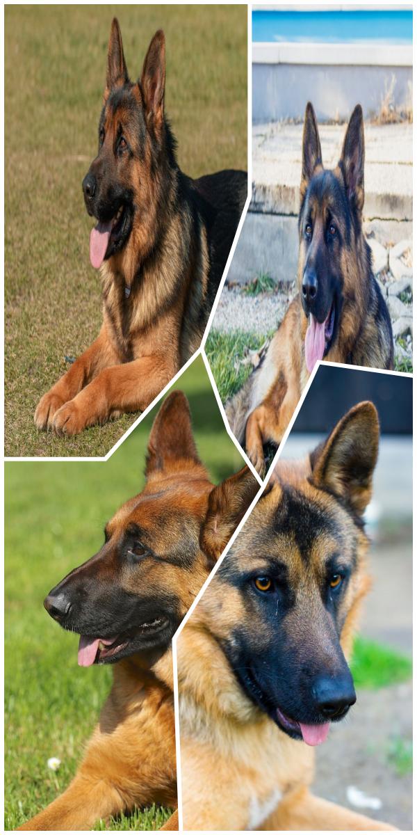 Mush Have Shepherd Rescue Kinds Of German Shepherd German Shepherd For Sale German Shepherd Dogs German Shepard