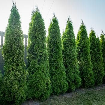 Perfect Height For Privacy Even In Small Spaces Why Emerald Green Arborvitaes Ready To Cultivate Yo Emerald Green Arborvitae Arborvitae Tree Giant Arborvitae